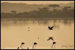 Marabou Stork and Flamingo sunrise (SpacePaparazzi.com) Tags: tanzania africa southeastafrica birds maraboustork stork flamingo flamingos sunrise lesserflamingo ndutu safari spacepaparazzicom