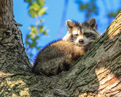 20190427-IMG_4857-2 (Mikeinwayne...On and off...) Tags: nature racoon mammal