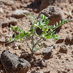 Three Corner Milkvetch - Astragalus geyeri var. triquertus. Rare plant and listed sensitive species (Gentilcore) Tags: astragalus astragalusgeyeri astragalusgeyerivartriquertus clarkcounty desert fabaceae flora flowers green herb leaves milk nevada plant sand threecornermilkvetch white annual compound dicot erect family flowering fruiting geyeri herbaceous inflated leaflets loco locoweed milkvetch paired pea petiolate plants pods rare sandy sensitive small species stem threecorner triquertus truncate uncommon vegetation vetch weed zigzag