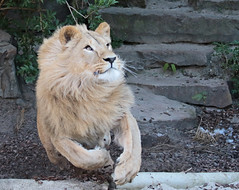african lion Dembe artis 094A0335 (j.a.kok) Tags: animal artis africa afrika afrikaanseleeuw africanlion leeuw lion mammal zoogdier dier predator dembe pantheraleoleo