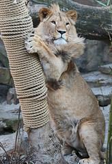 african lion Dembe artis 094A0071 (j.a.kok) Tags: animal artis africa afrika afrikaanseleeuw africanlion leeuw lion mammal zoogdier dier predator dembe pantheraleoleo