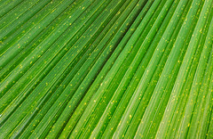 Close up of Vivid Tropical Green Leaf Texture. (yuliablazhuk) Tags: tree palm leaf plant tropical abstract background foliage forest garden green macro natural nature outdoors pattern texture close leave fresh light botany closeup color detail flora growth life line organic spring summer textured vein grass banana beautiful beauty botanic bright design environment freshness healthy season sunny tropicaljungle vibrant wallpaper