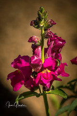 Red Dragon (JGemplerPhotography) Tags: flower snapdragon