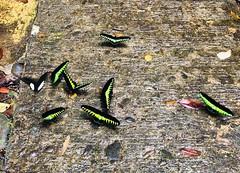 Rajah Brookes Birdwing Schmetterling (Trogonoptera Brookiana) (Mark 800) Tags: borneo 2019 malaysia gunungmulu national park sarawak rajah brookes birdwing schmetterling trogonoptera brookiana