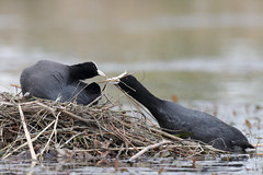 Helping out (ce-4) Tags: coot birds britishwildlife britishbirds wildlife wildfowl lakebird canon80d canonef500mmf4