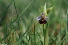 Ophrys Bourdon - Lapiaz de Myon (francky25) Tags: ophrys bourdon lapiaz de myon orchids franchecomté doubs orchidée sauvage flore