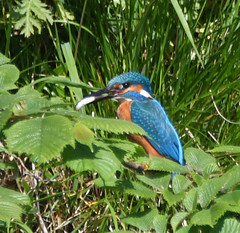 Kingfisher (After-the-Rain) Tags: alcedoatthis kingfisher schedule1protection amberlist rivereden