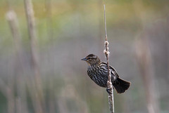 Female Red-winged Blackbird (Agelaius phoeniceus) (Kremlken) Tags: agelaiusphoeniceus blackbirds marshes marsh spring pa birds birding birdwatching nikon500