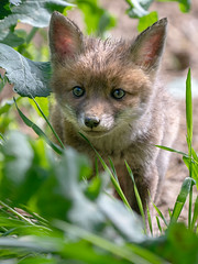 Renardeau (Vulpes Vulpes) Red Fox (Denis.R) Tags: renard vulpesvulpes redfox 100400gm alpha7riii alpha7r3 a7riii a7r3 libre sauvage affût nuisible terrier france lorraine moselle denisr denisrebadj wwwdenisrebadjcom