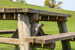 Bah-b-cue time 🐑❤ (Photo_stream_this) Tags: lamb barbeque chatsworth park table grass