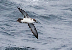 Great Shearwater scouring the North Atlantic Ocean (Iand49) Tags: greatshearwater bird feather shearwater pelagic oceanic seabird migratory fisheater predator scavenger ardennagravis thinbill blackcap whitebreast longwings flying inflight airborne gilding nature wildlife fauna avian outdoors ornithology sleek streamlined graceful atlanticocean