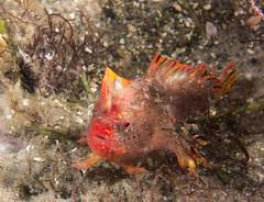 Critically endangered Red handfish Thymichthys politus (Marine Explorer) Tags: scuba nature marine underwater australia marineexplorer