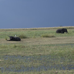 DSC_2627_1 (Marshen) Tags: botswana capebuffalo cattleegret elephant