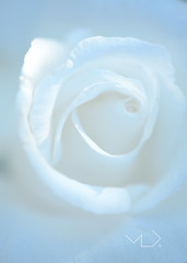 ... WHITE AGAINST WHITE ... (Device66.) Tags: white rose mygarden xicon yeahh macrophotography