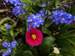 forget-me-not (saudades1000) Tags: garden pink spring blue glowers forgetmenot