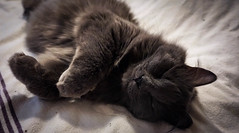 Sleeping King (catandtonic) Tags: animal calgary cat pet sora