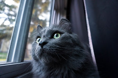 Watchful Gaze Sora (catandtonic) Tags: animal calgary cat pet sora
