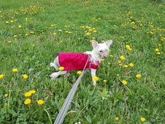 WERA Exotic World FCI (Natalia Julia Nowak) Tags: wera dog pies crested grzywacz pet animal chinesecresteddog chinesecrested chińskigrzywacz chinskigrzywacz grzywaczchiński grzywaczchinski natura nature przyroda spring wiosna flower flowers