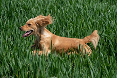 Jupe (mjsearle121) Tags: mjsearle121 matthewsearle leicestershire countryside fields nikon d750 cocker spaniel dog running playing jupe run spring grass crops jumping