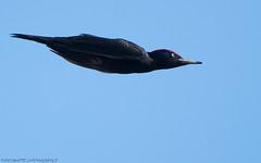 Palokärki (mattisj) Tags: aves birds blackwoodpecker dryocopusmartius eläimet fåglar linnut palokärki picidae piciformes tikat tikkalinnut spillkråka