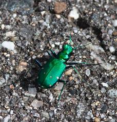 Six-spot (brewsterslinnet) Tags: cicindela cicindelasexgutta cicindelinae insect coleoptera carabidae beetle sixspottedtigerbeetle