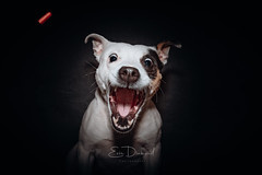 Roxy catching treats! (EoinDiamond) Tags: dog dogs dogcatchingtreats treats funny cute teeth mouth staffie staffordshireterrier terrier doggo food flash canon speedlight animals friend