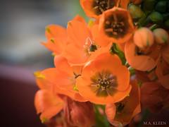 Orange Flowers (makleen) Tags: flowers flower springflowers spring springtime blossom nature naturalbeauty blossoming virginiaflowers orange orangeflowers garden
