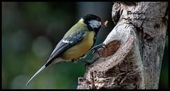 Great Tit . (Diddley Bo) Tags: nature bokeh garden feeding canon eos 7d mark 2 lensef 400 f6 6l