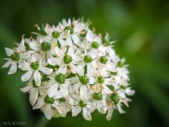Floral Burst (makleen) Tags: flowers flower springflowers spring springtime blossom nature naturalbeauty blossoming virginiaflowers white whiteflowers garden
