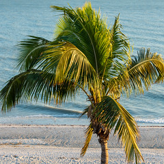 Palm (Jim Frazier) Tags: 201801floridatrip 2019 beach beautiful beauty bluesky closeup closelycropped coast detail eveninglight fl flora florida fronds green gulf gulfofmexico january jimfraziercom lateafternoon leaf leaves lonely lonesome natural nature ocean one palm plants q3 roadtrip sand sanibel sea shore single square study sunny surf trees vacation water waves winter instagram