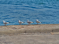 seagulls waiting at the seaside (ciddibirikiuc) Tags: seagulls waiting seaside bird animal wings queue bluesea waves sunnyday cute m43turkiye