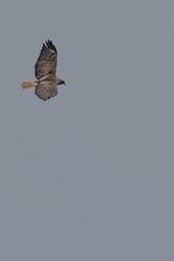 IMG_9786 (armadil) Tags: prairie ranchocorraldetierra bird birds flying hawk hawks raptor raptors rth redtailedhawk