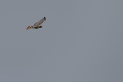 IMG_9787 (armadil) Tags: prairie ranchocorraldetierra bird birds flying hawk hawks raptor raptors rth redtailedhawk
