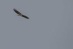 IMG_9789 (armadil) Tags: prairie ranchocorraldetierra bird birds flying hawk hawks raptor raptors rth redtailedhawk
