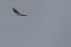 IMG_9790 (armadil) Tags: prairie ranchocorraldetierra bird birds flying hawk hawks raptor raptors rth redtailedhawk