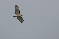 IMG_9794 (armadil) Tags: prairie ranchocorraldetierra bird birds flying hawk hawks raptor raptors rth redtailedhawk