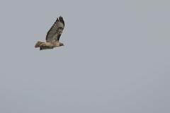 IMG_9796 (armadil) Tags: prairie ranchocorraldetierra bird birds flying hawk hawks raptor raptors rth redtailedhawk