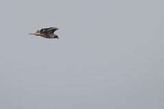 IMG_9798 (armadil) Tags: prairie ranchocorraldetierra bird birds flying hawk hawks raptor raptors rth redtailedhawk
