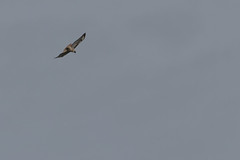 IMG_9823 (armadil) Tags: prairie ranchocorraldetierra bird birds flying hawk hawks raptor raptors rth redtailedhawk