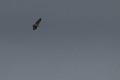 IMG_9834 (armadil) Tags: prairie ranchocorraldetierra bird birds flying hawk hawks raptor raptors rth redtailedhawk