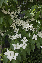 Dogwood cover (Tim Brown's Pictures) Tags: washingtondc neighborhoods flowers blossoms blooms color dogwood garden washington dc unitedstates