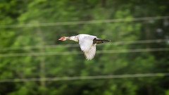 Muscovy Duck '19 (R24KBerg Photos) Tags: bird animal duck 2019 flying flight muscovyduck pittcounty nc northcarolina canon nature