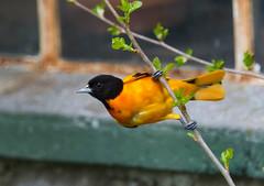 Baltimore Oriole (Icterus galbula) (Kremlken) Tags: icterusgalbula orioles pennsylvania springmigration birds birding birdwatching nikon500