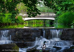 Bridge over calm waters (Ade Ward Phototherapy.) Tags: 2019 outdoors relaxation tranquility scenery nikon summer green wildlife nature bridge roathpark cardiff wales waterfall duck water