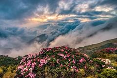 合歡山●玉山杜鵑雲海夕彩   Taiwan Alpine Rhododendron Sunset (Shang-fu Dai) Tags: 台灣 taiwan 南投縣 仁愛 合歡山 雲海 mthehuan nikond800 afs1635mmf4 landscape sunset 日落 夕陽 sun 高山杜鵑 玉山杜鵑 杜鵑 杜鵑花 alpinerhododendron formosa 3417m 合歡主峰 主峰 雲 森林 天空 風景 山 happyplanet asiafavorites