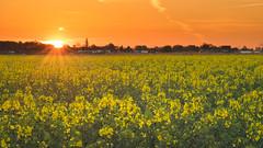 Raps 08 (Torsten schlüter) Tags: deutschland hamburg natur blüten blütezeit sonnenaufgang sunrise olympus 45mm 2019