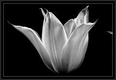 Biały tulipan. (andrzejskałuba) Tags: poland polska pieszyce dolnyśląsk silesia sudety europe natura nature natural natureshot natureworld nikoncoolpixb500 plant roślina kwiat kwiaty flower flora floral flowers macro monochrome beautiful biały black bw blackwhite white wiosna spring garden ogród tulip tulipan czarny art cień shadow 1000v40f 1500v60f