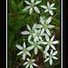 Ornithogalum umbellatum: « Les mots que l'on n'a pas dits sont les fleurs du silence. » Prov Japonais