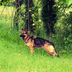 German Shepherd (Allevamento Casa Caligiani) Tags: pastoretedesco germanshepherd dog schäferhund cane gsd