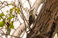 Arizona Trip - Green Valley Park Birding (phicks172) Tags: arizonatripgreenvalleyparkbirding dsc7069 bird nuthatch whitebreastednuthatch arizonatrip nature payden az usa